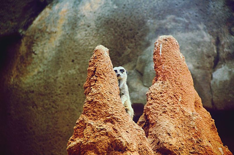 Meerkat By Rock Formations
