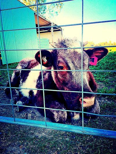 P E P P E R Livestock Cute Pets Farm Life SunnyQueensland First Eyeem Photo