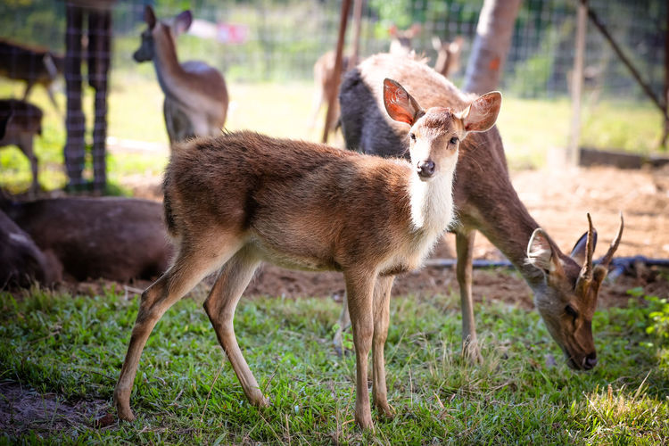 Deer on Farm Deer Deer Park Animal Animal Themes Mammal Group Of Animals Animals In The Wild Animal Wildlife Vertebrate Field Land Plant Focus On Foreground Young Animal Nature Grass Two Animals No People Day Standing Fawn Herbivorous Animal Family
