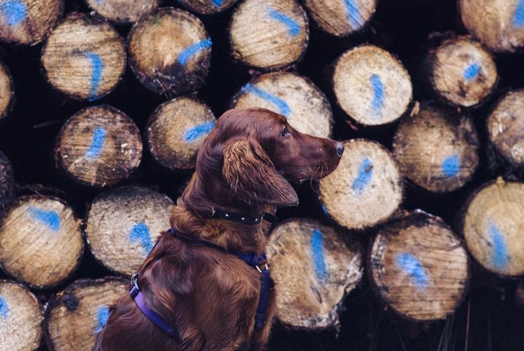 Close-up of dog against log stack