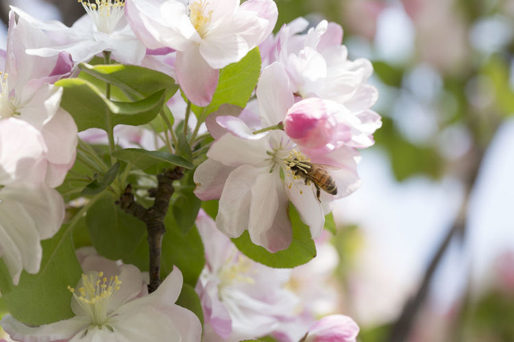 Begonia flowers and bee Animal Themes Animals In The Wild Beauty In Nature Bee Begonia Begonia Flower Blossom Close-up Day Flower Flower Head Fragility Freshness Growth Insect Nature No People One Animal Outdoors Petal Plant Pollination Rhododendron Springtime
