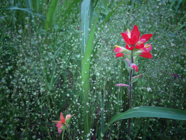 Wild flower Growth Flower Red Petal Nature Green Color Freshness Fragility Plant Blooming Leaf No People Beauty In Nature Outdoors Day Flower Head Grass Close-up