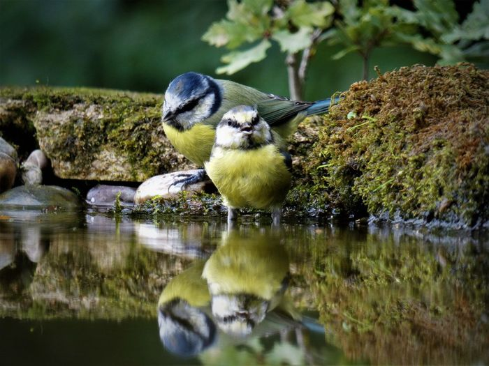 Great tits perching in lake