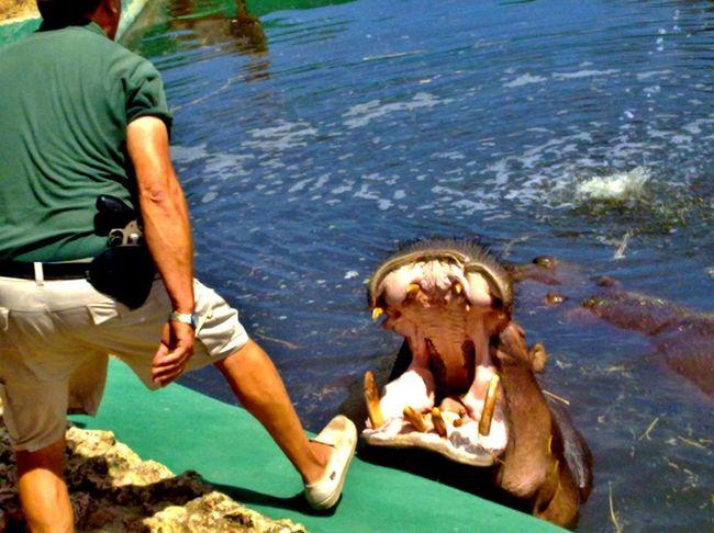 Balearic Islands Safari Animals One Person Hippopotamus Safaripark Hot Day Dangerous Water