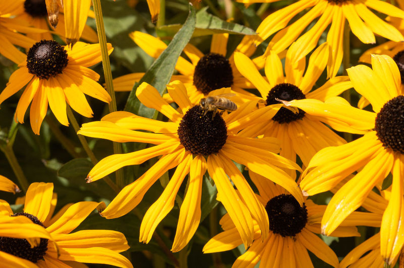 Bees Beauty In Nature Bee Black-eyed Susan Close-up Coneflower Day Flower Flower Head Flowering Plant Focus On Foreground Fragility Freshness Growth Inflorescence Nature No People Outdoors Petal Plant Pollen Vulnerability  Yellow