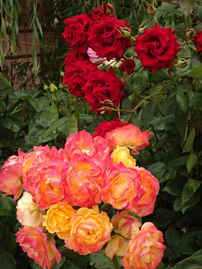 The roses in bloom. Bloom Blooming Colourful Flamboyant Flowers Freshness Garden In Bloom Pink Pink & Yellow Red Red Roses Roses Summer The Roses In Bloom