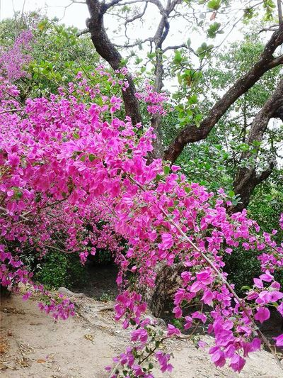 Flower Pink Color Tree Nature Beauty In Nature Day Nature Photography By Zu Marcal Hello World My Look Beautiful Nature Flowers_collection Flowers,Plants & Garden Morning Flower Flower Collection Nature_perfection Tree_collection  Brazil