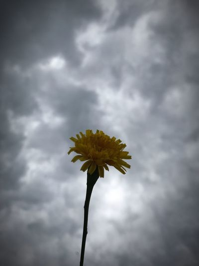 Close-up of yellow flower against cloudy sky