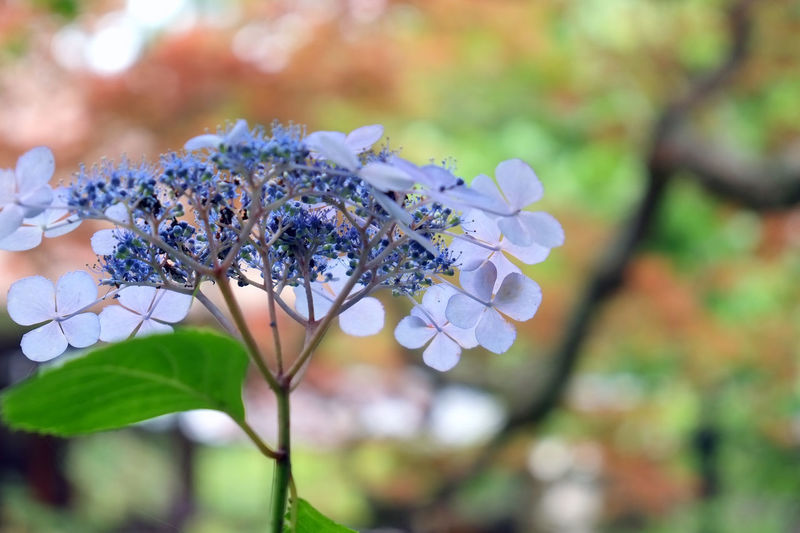 Sunny weather during the rainy season Beauty In Nature Flower Freshness Gentle Sunlight Growing Hydrangea In Bloom Kamakura Nature Purple