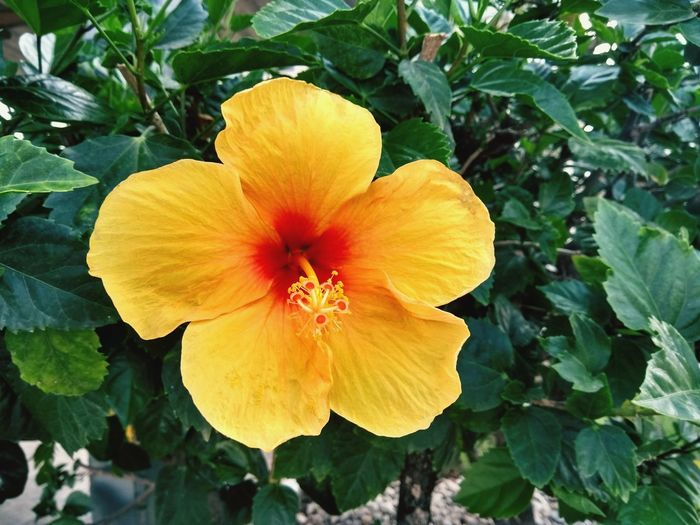Ibiscus Flower Plant Yellow Flower Head Petal Nature Beauty In Nature Leaf Close-up