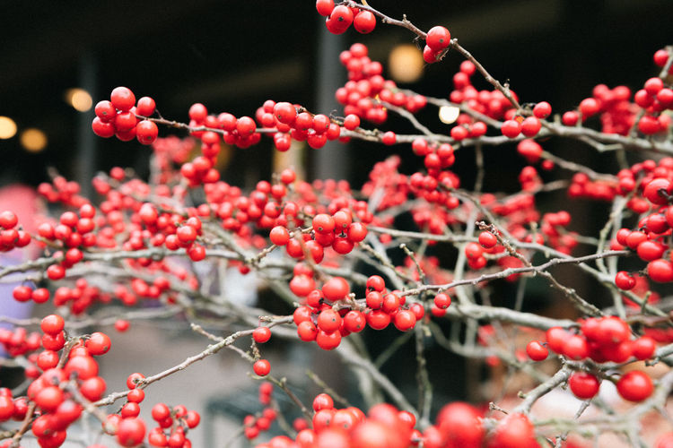 Fruit Healthy Eating Berry Fruit Food And Drink Food Growth Red Freshness Close-up Focus On Foreground Plant Selective Focus Day Tree Wellbeing Nature No People Rowanberry Beauty In Nature Outdoors Ripe