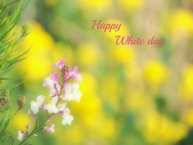 素敵な一日を❤ Whiteday Spring Flower Natural EyeEm Nature Lover Flower Collection EyeEm Gallery EyeEm Best Shots