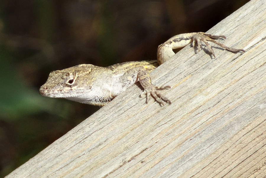"""""""Lounging Lizard"""" Daytime In The Wild Lizard Reptile Animal Portrait Feet Focus On Foreground Gecko Grasping Looking Pads"""