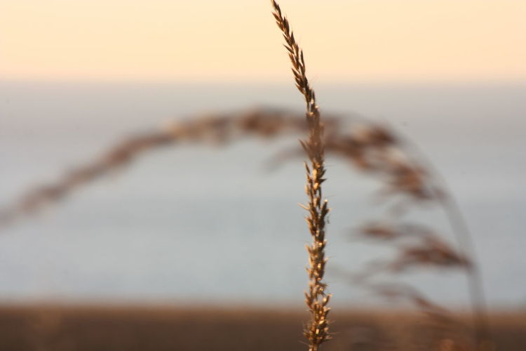 Agriculture Cereal Plant Close-up Day Growth Nature No People Outdoors Plant Rural Scene Scenics Summer Sunset Tranquil Scene Water Wheat