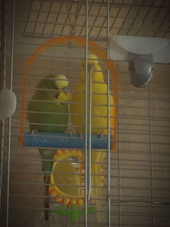 Budgie Pets Beauty Faded Vignette