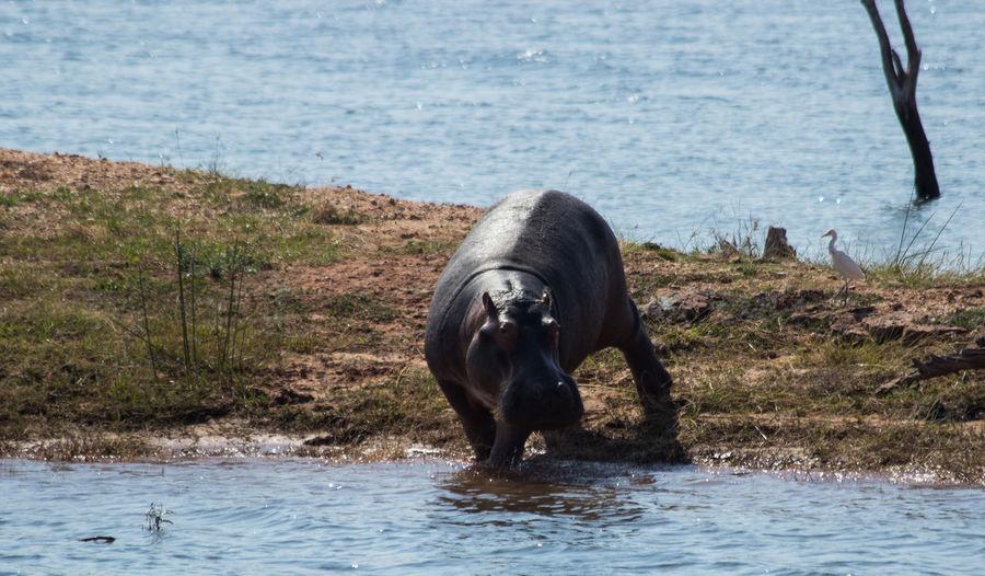 Animal Themes Animal Wildlife Animals In The Wild Beauty In Nature Hippo Testing The Waters Hippopotamus Kariba Mammal Nature Waterfront