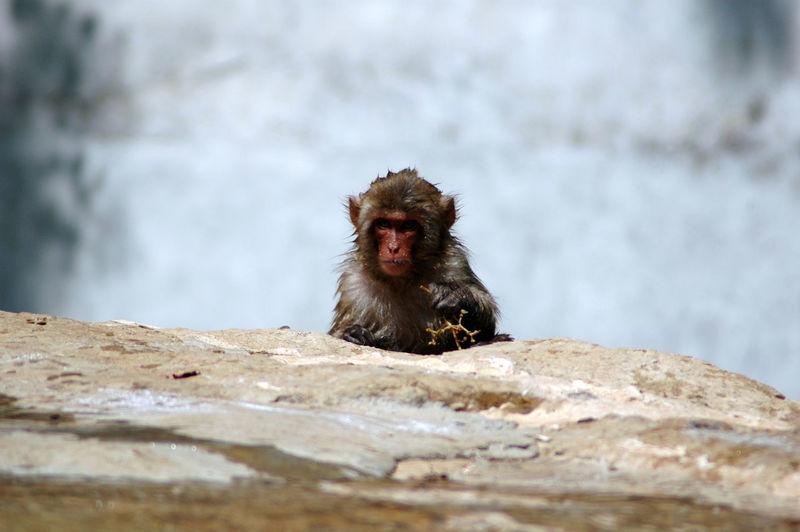 Monkey leaning on rock