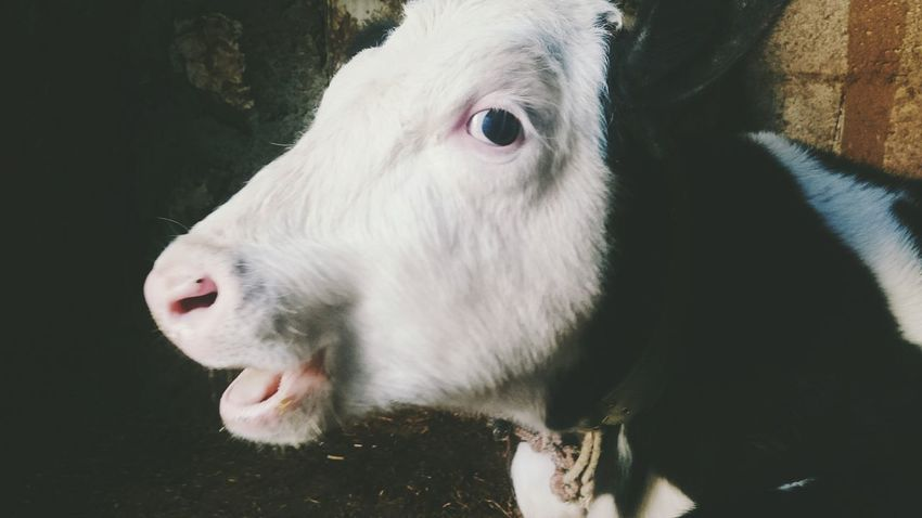 A little blind cow, but happy one ;) lick my hands a lot. Animal Themes Animal Head  Close-up One Animal No People Portrait Cow White Eye Animal Animal Photography