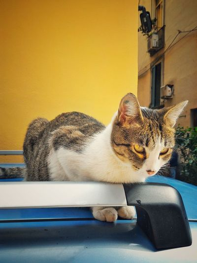 Close-up of cat sitting on car roof against yellow building