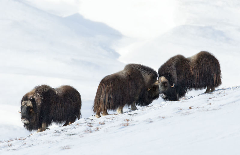 Musk oxes on snowcapped mountain