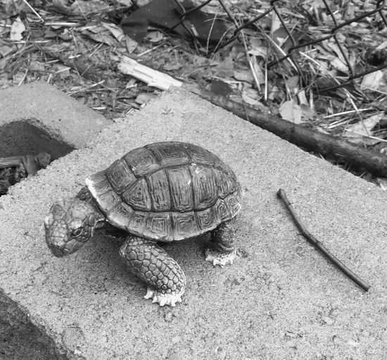 Slow going. Tortoise High Angle View Animal Themes Outdoors Blackandwhite 365project