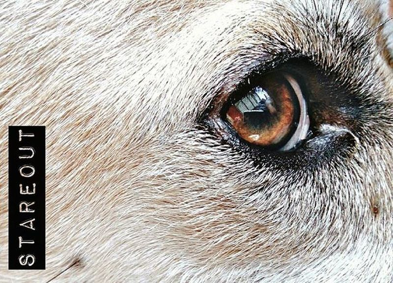 STAREOUT Dog Stare Eye Furry Close-up Pet Thailand