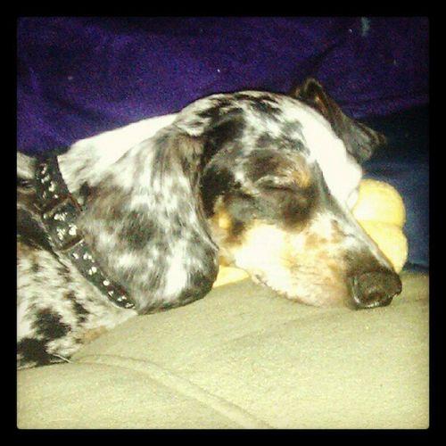 Using his bone as a pillow. Sweet baby. Dapple Dachshund Sleepy Weeniedog Cute