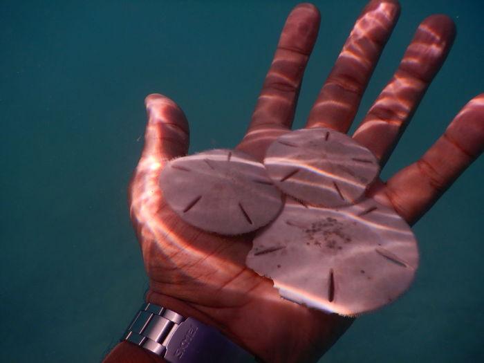 Close-up of hand holding sun dollars underwater