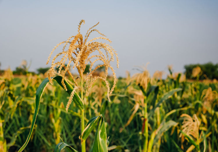 India Agriculture Beauty In Nature Close-up Corn Corn Harvest Crop  Day Farm Field Flower Flowering Plant Focus On Foreground Growth Land Landscape Nature No People Outdoors Plant Plantation Rural Scene Sky Tranquility Yellow
