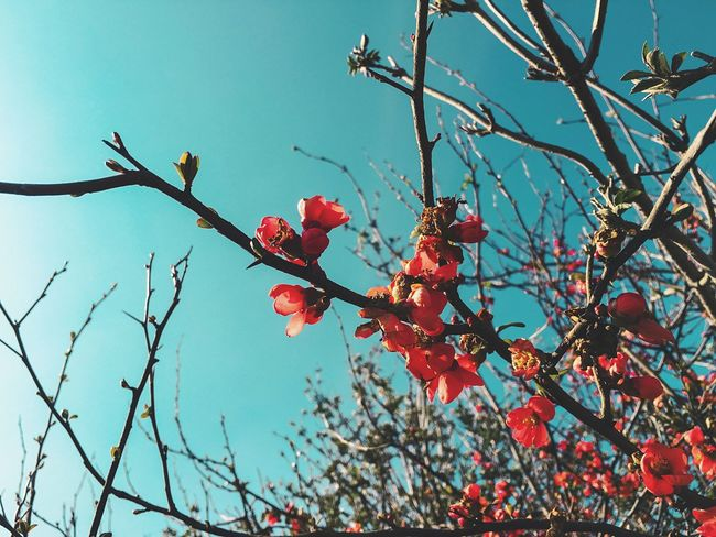 In Bloom Flowers Petal Blossom Branch Red Red Flower Flowering Quince Flowering Quince Spring Blue Sky Blue Iphone6s IPhoneography Showcase: March Nature's Diversities