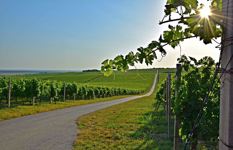 Baranjski vinogradi Agriculture Beauty In Nature Clear Sky Day Field Green Color Growth Landscape Nature No People Outdoors Road Rural Scene Scenics Sky Sunlight Tranquil Scene Tranquility Tree Vineyard