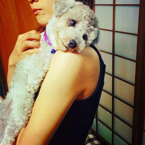 Pets Corner my sweet noel Toypoodle Ilovemydog Sweet♡ cute Cute Pets My Toypoodle