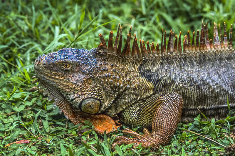 Green Iguana,