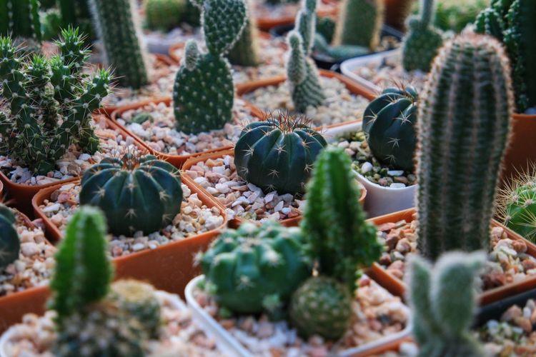 Cactus Cactus Cactusporn Close-up Day Growth Nature Needle - Plant Part No People Outdoors Plant Succulent Plant