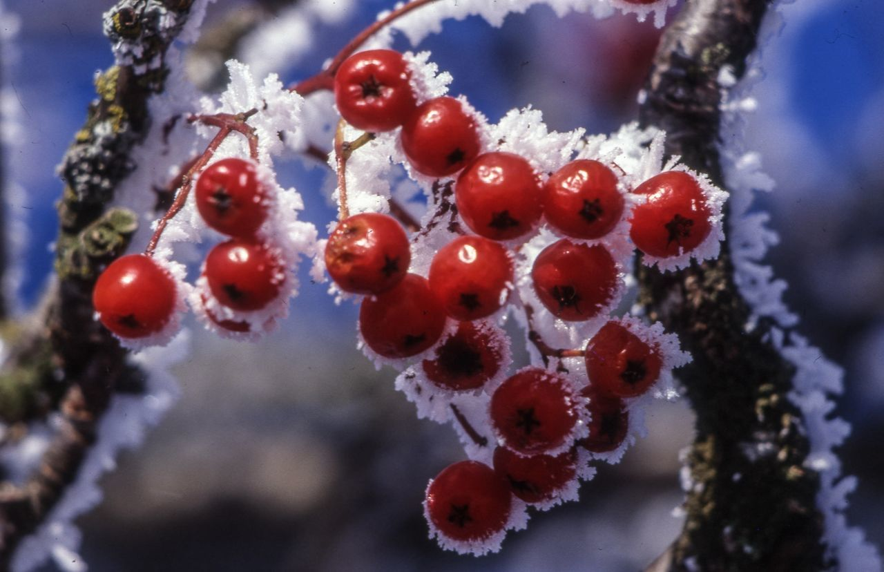 cold temperature, red, nature, no people, beauty in nature, winter, outdoors, close-up, focus on foreground, day, fruit, growth, snow, food and drink, tree, freshness, food