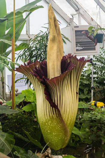 """The rare and smelly corpse flower at the Dunedin Botanic Garden is still attracting crowds but the smell is """"pretty much gone"""". The pungent but short-lived bloom of the plant, Amorphophallus titanum, has been viewed and sniffed by thousands of people since it began flowering about noon on Saturday. But the """"female parts"""" of the flower which generated the horrible scent had settled down and the nauseous smell was almost gone, winter garden collection curator Stephen Bishop said yesterday. https://www.od Amorphophallustitanum Beauty In Nature Flower Flower Head Growth Leaf Nature Plant"""