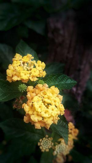 Beautiful Yellow Wildflowers Lantana Camara Yellow Lantana Camara Pleasure At Dawn Beauty In Nature Thing Of Beauty The Freshness Of Dawn The Beauty Of Yellow Gpmzn Flower Head Flower Yellow Close-up Plant