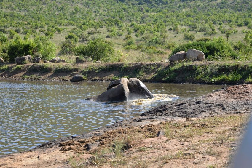 Elephants Animal Southafrica Elephant Water Hole Nature Rock - Object Animals In The Wild No People Day Water Outdoors Beauty In Nature River Animal Themes Animal Wildlife Mammal Scenics Tree African Elephants Elephants In The Wild African Safari Animals EyeEm Nature Lover African Elephant Swimming