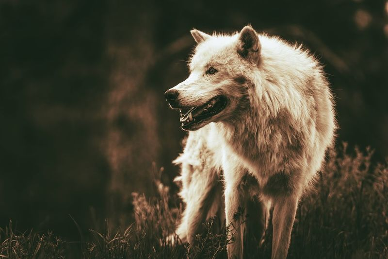 White Alpha Wolf. Dark Sepia Color Grading. Adult Wolf. Animal Animal Head  Animal Themes Animal Wildlife Animals In The Wild Canine Dog Domestic Domestic Animals Field Focus On Foreground Land Looking Looking Away Mammal Mouth Open Nature No People One Animal Outdoors Standing Vertebrate Wolf