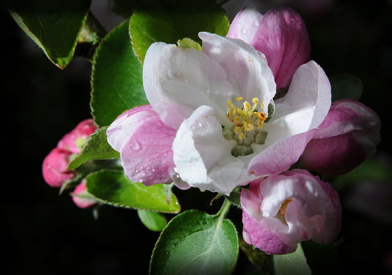Agriculture Beauty In Nature Bramley Apple Bud Close-up Day Dew Flower Flower Head Fragility Freshness Fruitful Growth Growth Harbinger Hope Leaf Nature Outdoors Petal Pink Color Plant Pollen Pollenate Stamen