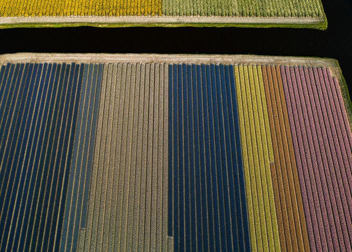 Aerial view of hyacinth flowers field