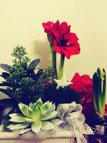 The Culture Of The Holidays Flower Red Plant Christmas Flowers Finnish Traditions