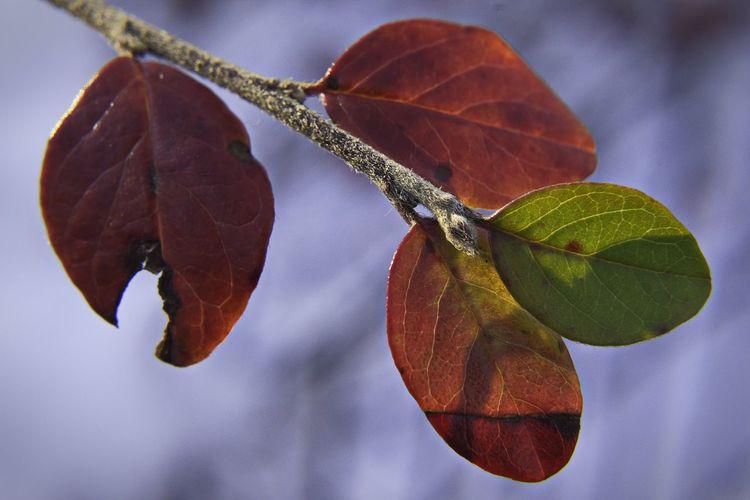 Fall's encore D5500 Leaf Close-up Autumn