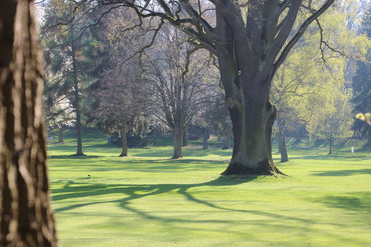 Golf Course with its old trees. Bare Tree Beauty In Nature Branch Day Golf Golf Course Grass Green - Golf Course Green Color Growth Nature No People Outdoors Scenics Shadow Sunlight Tree Tree Trunk