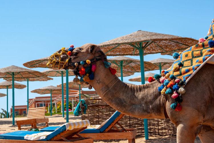 Egypt Animal Animal Body Part Animal Head  Animal Themes Camel Domestic Animals Nature One Animal Sky Wacations Working Animal