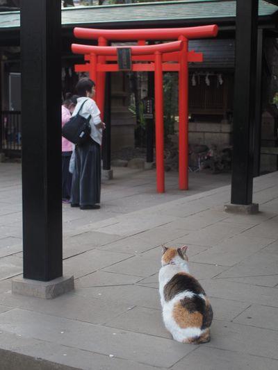 神社ねこ 神社 猫 鳥居 Japanese Shrine TORII Torii Gate Snapshots of Life Snapshot Walking Around Taking Photos Tokyo,Japan 愛宕神社 Animal And People