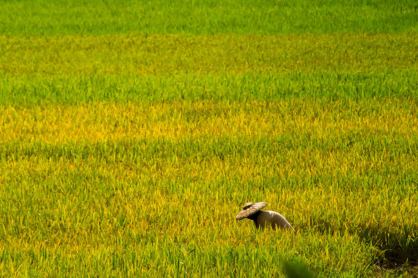 ASIA Agriculture Asian  Farm Farmer Green Color Rice Rice Paddy Woman Beauty In Nature Beauty In Nature Day Field First Eyeem Photo Grass Green Color Harvest Landscape Nature No People Outdoors Rice Field Rural Scene Women Yellow