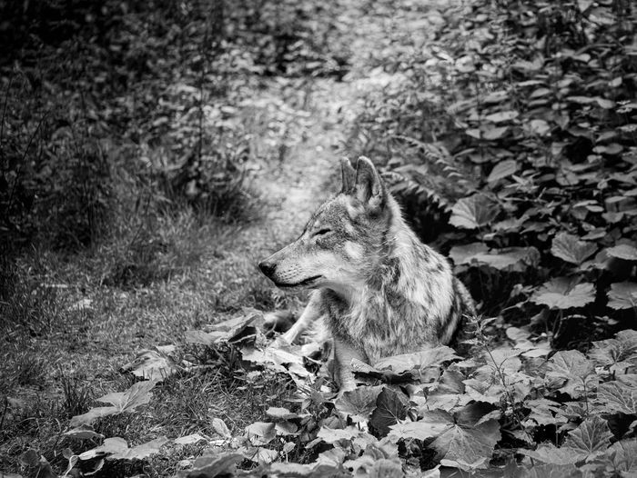 Profile black and white of wolf in germany