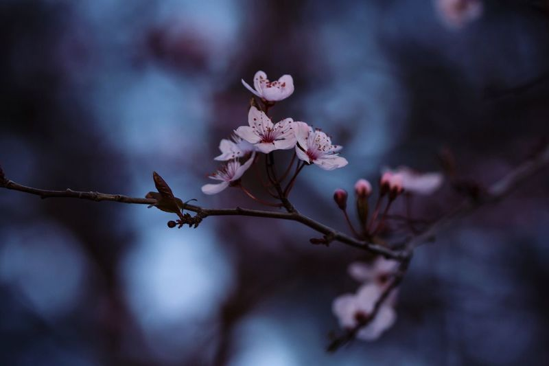 Flowers Spring Roma EyeEmNewHere Nature Branch Pink Color Bokeh Flower Head Flower Tree Branch Pink Color Springtime Close-up Plant Life Blossom Pistil In Bloom Petal