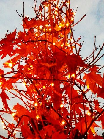 Orange Color Autumn Change Nature Tree Low Angle View Beauty In Nature No People Branch Sky Leaf Growth Day Close-up Maple Leaf Outdoors Christmas Tree 😚 Christmas Lights!